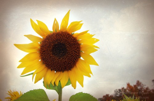 BlissHabits_IMG_5696_Sunflower