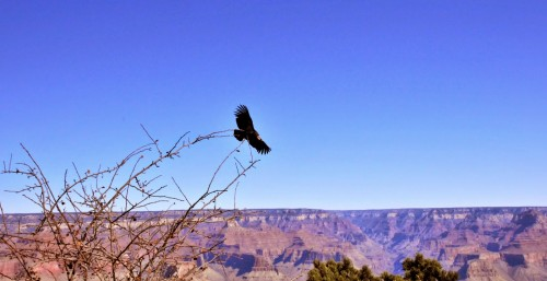 California Condor at the Grand Canyon, AZ   photo © D. Sensharma